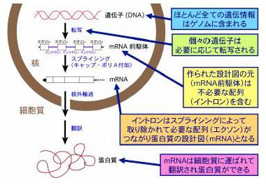 遺伝子発現機構学研究部門 | 研...